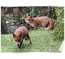 Urban Foxes Poster