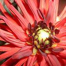 Red dahlia by Ana Belaj