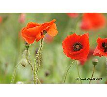 Wild Poppies 3, Compton Abbas, Devon Photographic Print
