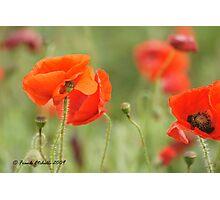 Wild Poppies 4, Compton Abbas, Devon Photographic Print