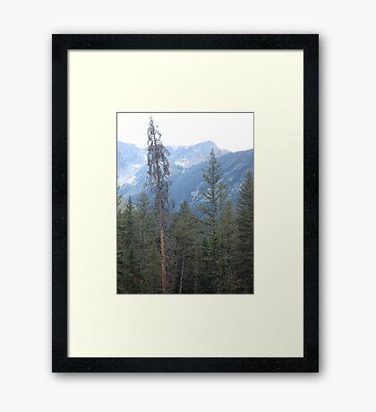 Lodgepole Pine Framed Print
