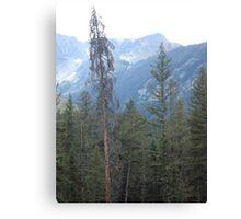 Lodgepole Pine Canvas Print