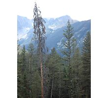 Lodgepole Pine Photographic Print