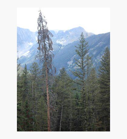 Lodgepole Pine Photographic Print