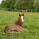 foal relaxing in a paddock by sarahnewton