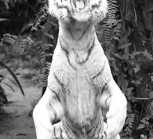 White siberian Tiger feeding  by brevans