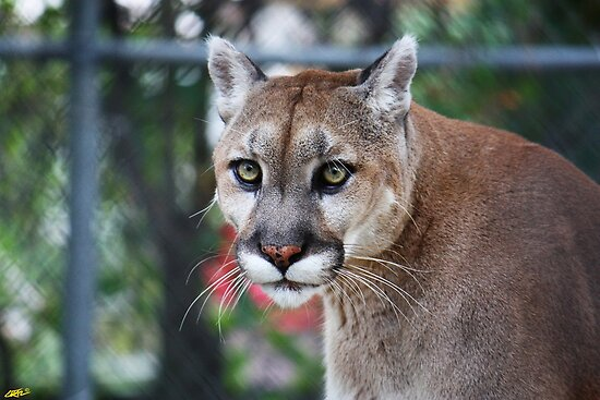 Florida panther by D R Moore