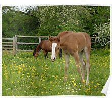 foal and mother grazing together Poster
