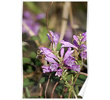 Obedient Plant - Physostegia virginiana Poster