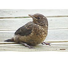 """ Baby Blackbird in Peril"" Photographic Print"
