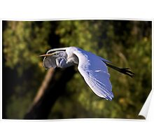 1100908 Great White Egret Poster