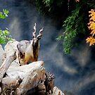 Markhor in Los Angeles zoo by loiteke