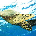 Green Turtle on the Great Barrier Reef by Ryan Pedlow