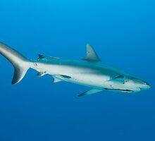Reef Shark - Norman Reef by Ryan Pedlow