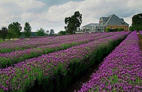 Lavender Farm Daylesford Victoria by Joe Mortelliti