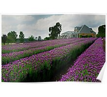Lavender Farm Daylesford Victoria Poster