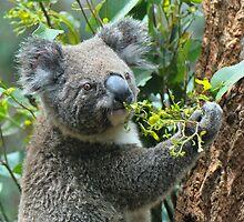 Koala having a dinner by Anton Gorlin
