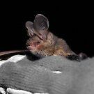 Bat by tracyleephoto