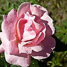 Garden Rose by Pascal and Isabella Inard