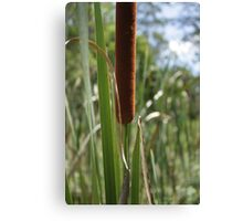 Bull Rush Canvas Print