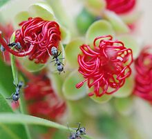 Red Bottle Brush Ants by MissyD