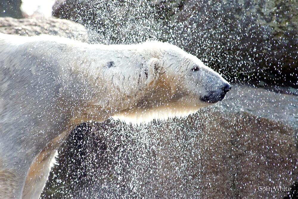 Polar bear1 Berlin zoo by Colin White