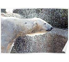 Polar bear1 Berlin zoo Poster