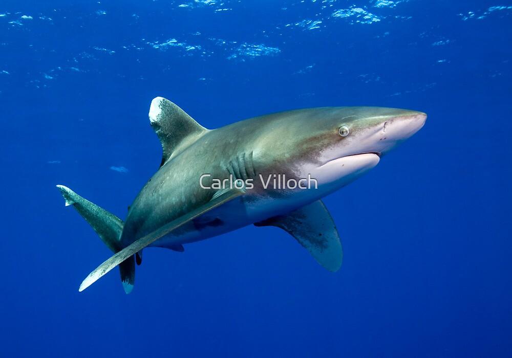 Oceanic White Tip Shark by Carlos Villoch