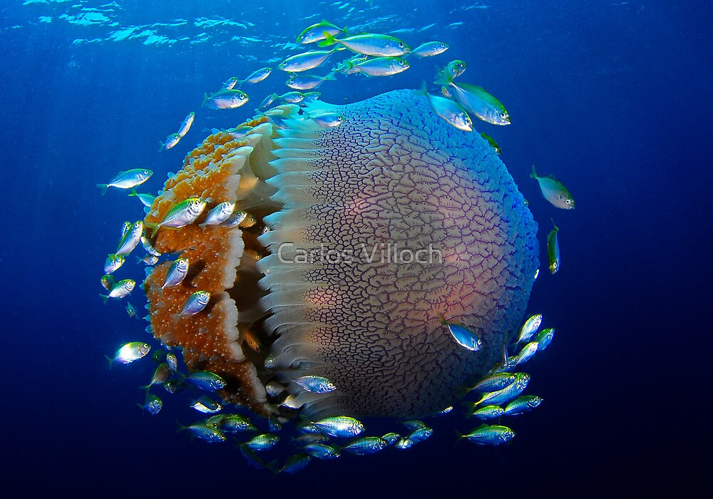 Jellyfish with fish by Carlos Villoch