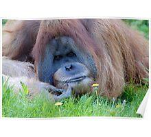 Orangutan1 Poster