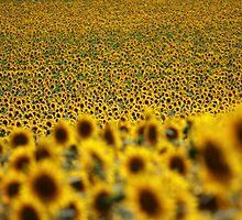 Sunflower field by Sébastien FERRAND