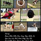 Canberra Agility Dogs In Action by fhrp