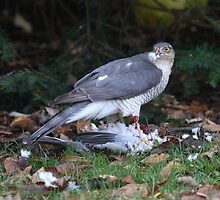 Lunching female Eurasian Sparrowhawk by Hugh J Griffiths