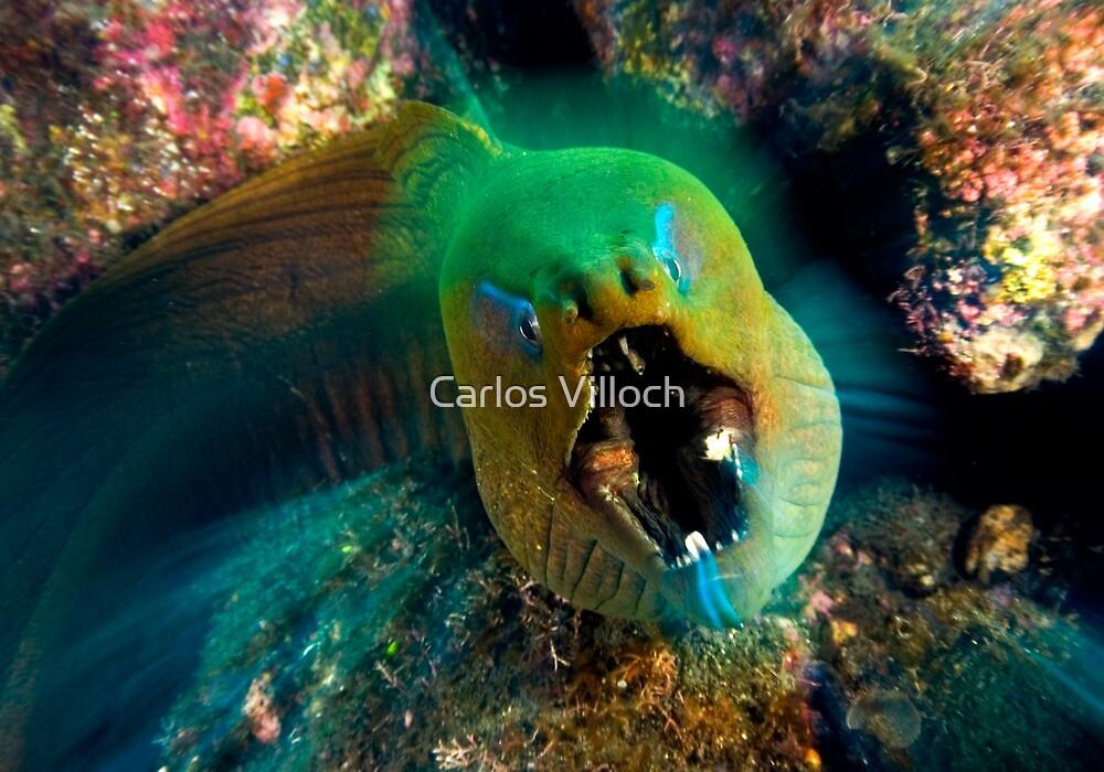 Moray eel by Carlos Villoch