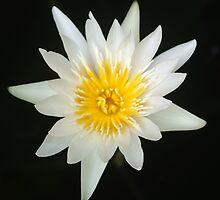 Lotus by Rainy