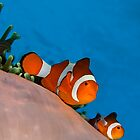 Anemone fish by Carlos Villoch