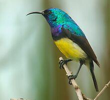 Variable sunbird by Paulo van Breugel