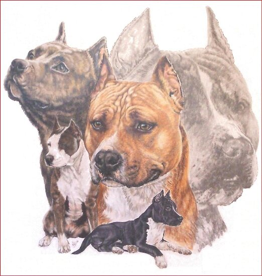American  Staffordshire Terrier/ Ghost by BarbBarcikKeith