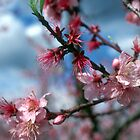 Peach blossom by Larry  Grayam