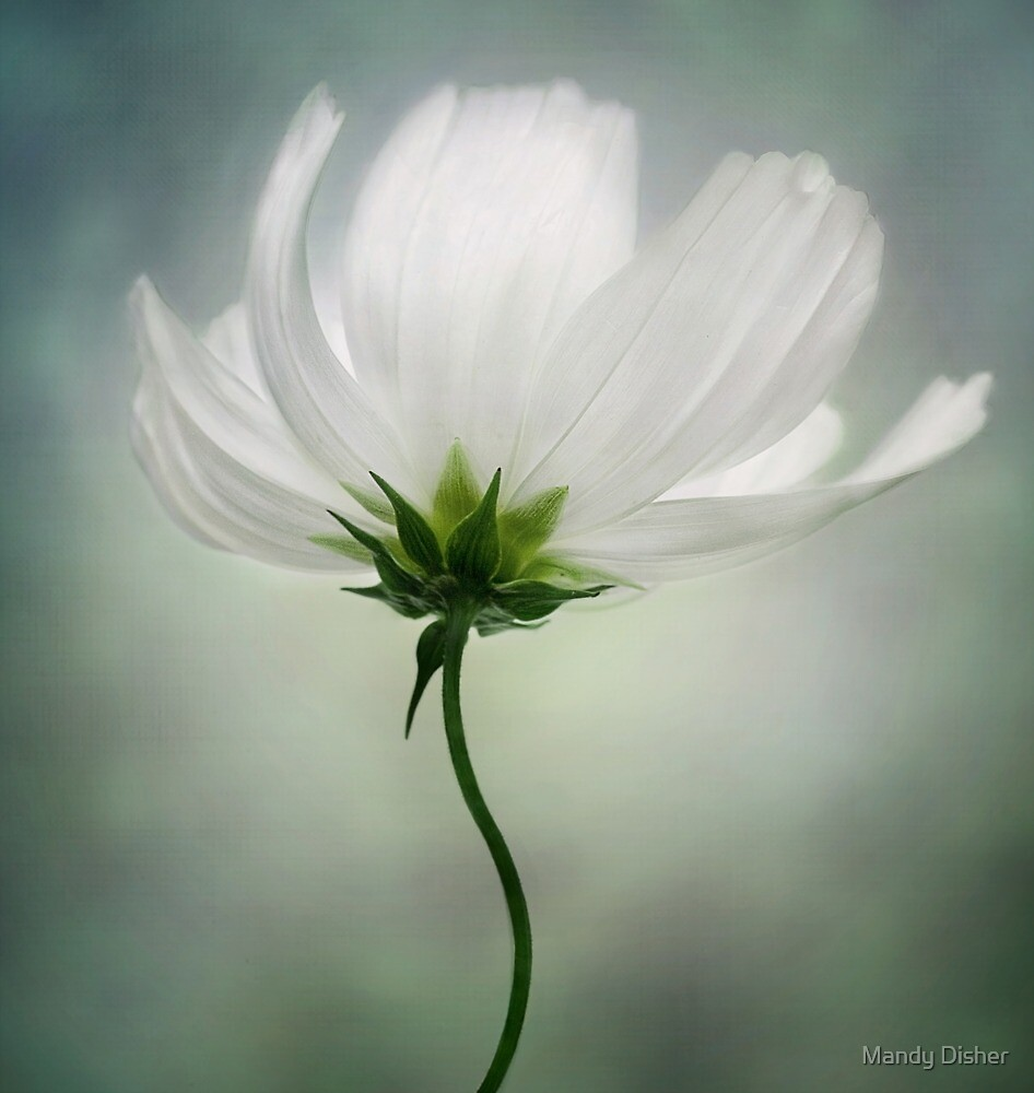White Cosmos by Mandy Disher