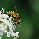 An ordinary bee by Paulo van Breugel