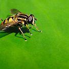 Hoverfly on green by Paulo van Breugel