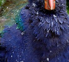 Takahe Splash by A.M. Ruttle