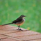 Little Wagtail by laureenr