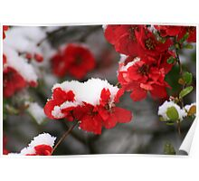Snowy quince Poster
