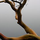 Arbutus tree in the fog by TerrillWelch