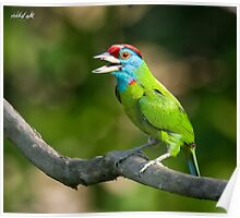 Blue-throated Barbet Poster