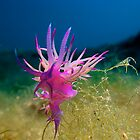 Pink Flabellina by markosixty6
