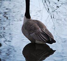 Canadian Goose  by MKAOleson