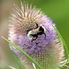 Thistle and bee by DazF